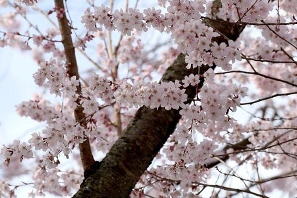 """Vì sao hoa anh đào được xem là """"quốc hoa"""" của Nhật Bản?"""