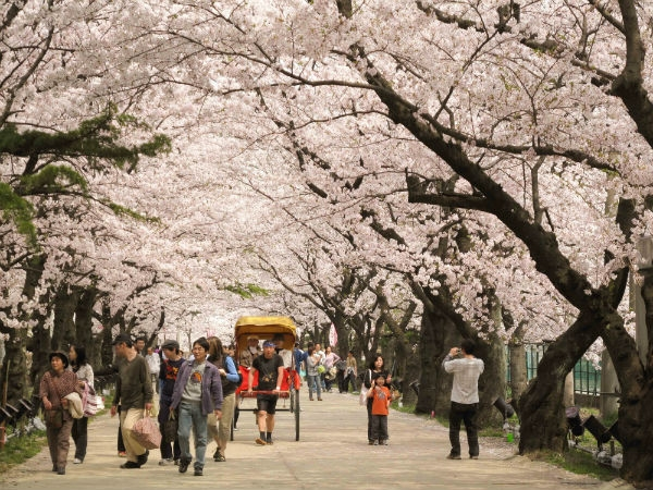 Lễ hội hoa anh đào: Không chỉ ở Nhật Bản! 1