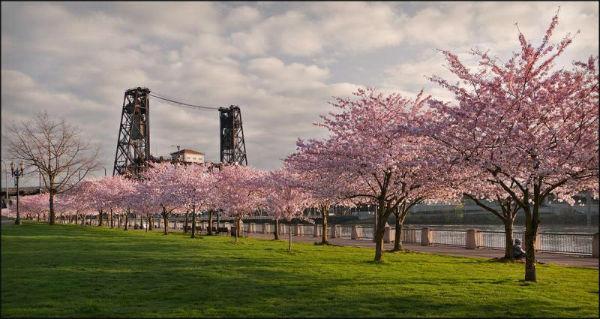 Lễ hội hoa anh đào tại công viên Tom McCall, Portland, Mỹ