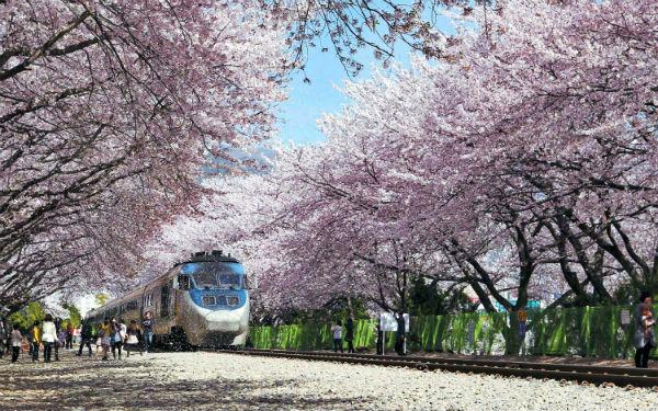 Lễ hội hoa anh đào Jinhae, Hàn Quốc