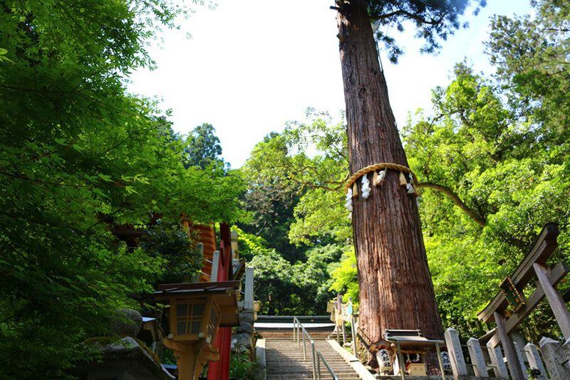 Cây thông thiêng vài trăm năm tuổi trong đền Yuki