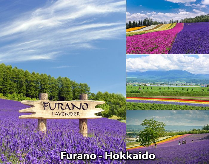 Vùng đất hoa Lavender, Furano, Hokkaido