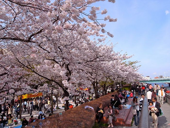 Lễ hội hoa anh đào Hanami tại Tokyo