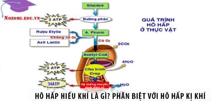 Hô hấp hiếu khí là gì? Phân biệt hô hấp hiếu khí và kị khí