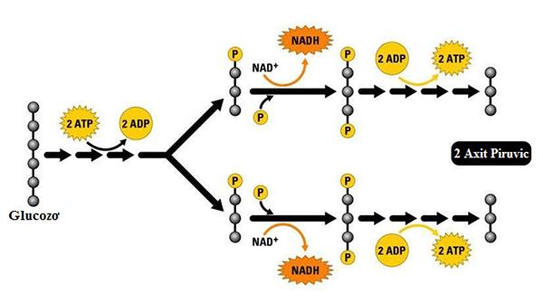 Quá trình đường phân trong hô hấp ở vi sinh vật