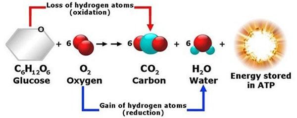 Hô hấp hiếu khí tạo ra nhiều năng lượng ATP