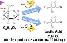 Hô hấp kị khí là gì? Vai trò của hô hấp kị khí?